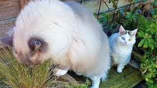 Life is Sweet in the Backyard | Bowie The Ragdoll Cat & Bella The Lambkin Kitten