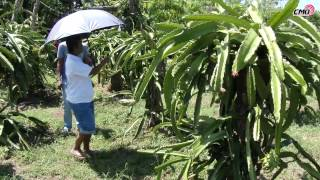 Typhoon Mario damages REFMAD Dragon Fruit Farm