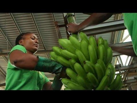 """La banane, l'""""ort vert"""" de l'Angola - focus"""