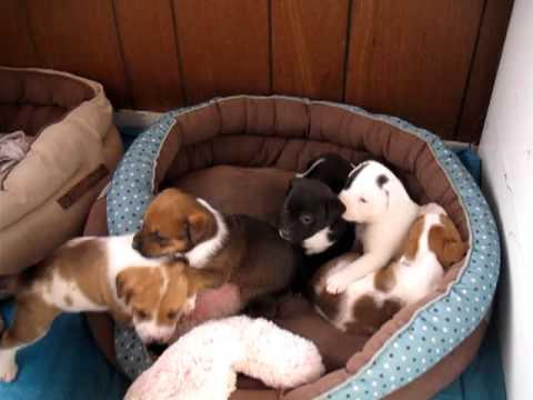 super cute  pitbull puppies need a home! Colorado