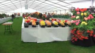 Begonias at Southport Flower show 2011