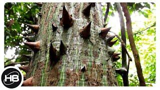Самые Колючие Деревья  и Кустарники на Планете