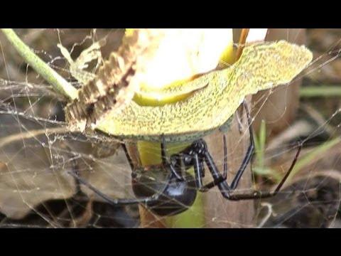 Huge Black Widow Spider Caught and Kills a Lizard! | 1080HD