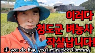 이러다 벼농사 망칩니다! If you do this, you'll ruin rice farming!
