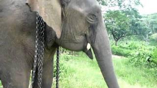 the elephant ,how to eat a corn ゾウさんのコーンの食べ方