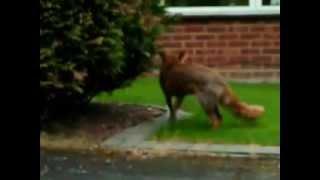 Собака защищает кошку от лисы! Dog saves cat from fox!