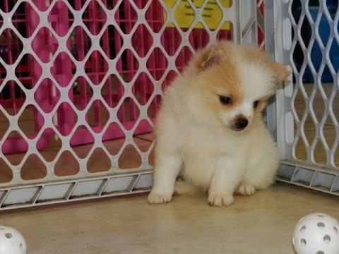 pomeranian breeders in tn not puppyfind craigslist oodle kijiji hoobly ebay 4872