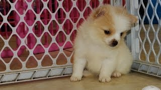 Pomeranian, Puppies, For, Sale, In, San Jose, California, Ca, Ontario, Santa Rosa, Rancho Cucamonga,
