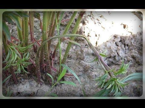 Вопрос: От какой болезни свернулись листья на пионах?