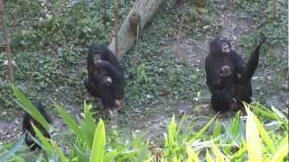 bonobos overcoming social tension