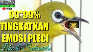 "PANCINGAN PLECI NGALAS FULL    (99""99)% ! TINGKATKAN EMOSI PLECI !!"