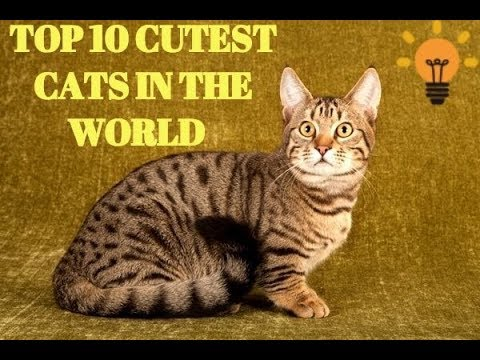 Top 10 Cutest Cat Breeds To own for 2018-Beautiful Cat Breeds