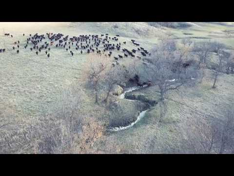Annie Gathering Yearlings - Drone View May 2019