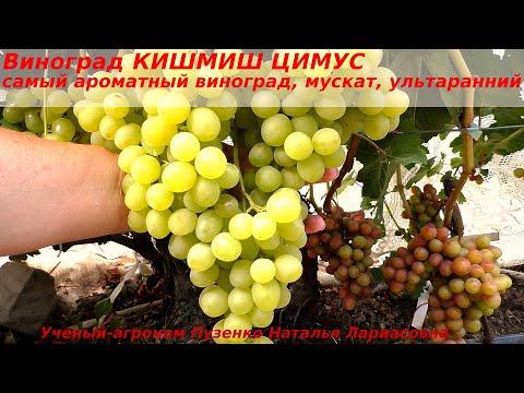 Виноград КИШМИШ ЦИМУС  самый ароматный на участке, ягода пахнет при разрезании, мускат изумительный