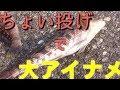 『ちょい投げ』釣りで大アイナメ!/初心者の釣り@富山湾 にわか明太子 Fishing a roc…