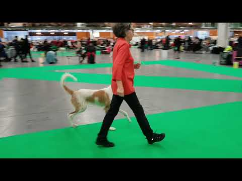 Swedish Winner 18.12.09 Wired IBIZAN HOUND Female