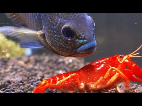 BIG FISH VS RED CRAYFISH