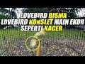 Melihat Dekat Lovebird Konslet Gaya Kacer Buka Ekor Lovebird Bisma  Mp3 - Mp4 Download