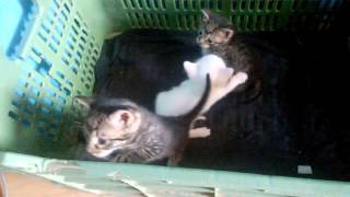 Cute Kittens meowing and playing