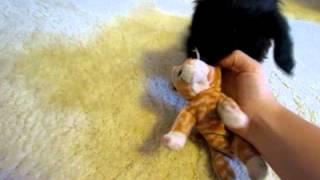 Titan the mini dachshund