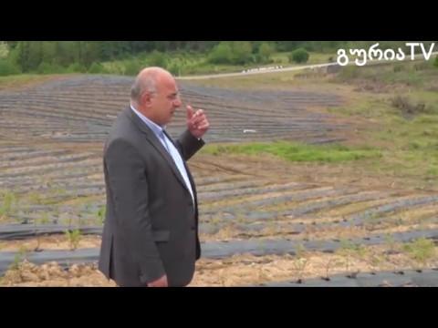 გურიის ახალი ამბები – ლურჯი მოცვის ბაღები ჯუმათში