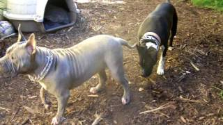 Libra's Sweetie Together With Soupy Bull Mastiff Sharpei- Both Deemed Aggressive