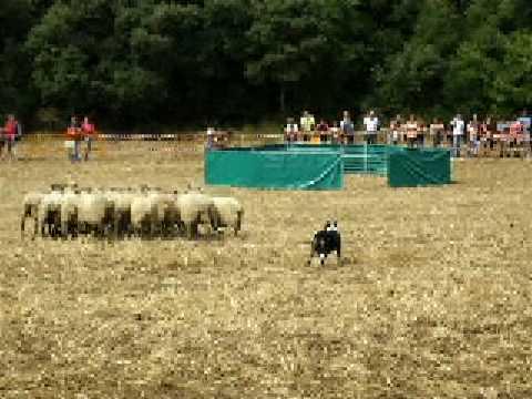 prueba de perros pastores de ovejas