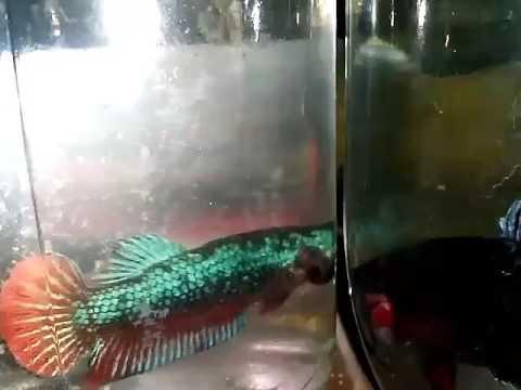 Download 7200 Koleksi Gambar Ikan Cupang Terganas Terbaru