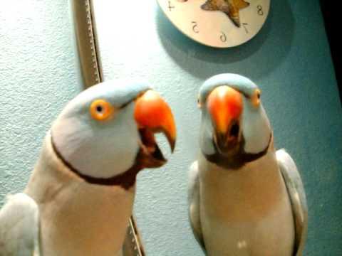 Maui the talking parrot