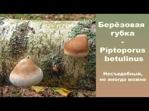 Берёзовая губка - Piptoporus betulinus. Считается несъедобным,  но  иногда можно...