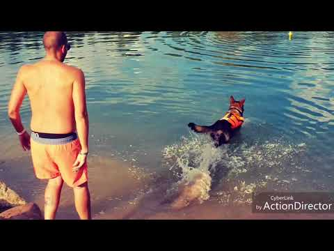 Ibizan Hound- swimming for the first time