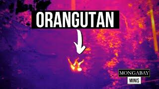 Heat-sensing drones spot orangutans in the Indonesian rainforest