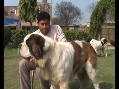 Saint Bernard Mastiff Dogs Puppies For Sale Variety