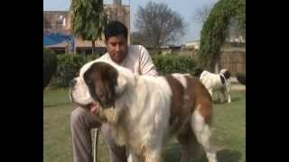 SAINT BERNARD, MASTIFF DOGS, PUPPIES FOR SALE - VARIETY KENNEL INDIA