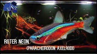 Wissenswertes über : Rote Neons (Paracheirodon Axelrodi)(#52)