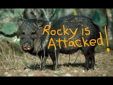 Rocky is Attacked by a Javelina-Superior AZ Free Camping-April 2017