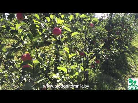 Позднелетние сорта яблонь, краткое описание, плодоношение в питомнике плодовых Сад. | яблоня | яблонь | яблони | яблоки | летние | сорта