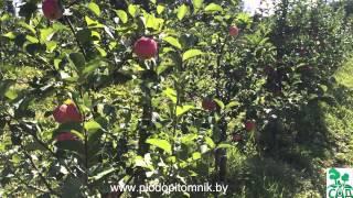 видео Яблоня Орловим