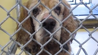 **rescued/adopted**downey A4867433 Sweet Senior Cocker Spaniel!