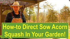 Tips and Ideas on How-to Direct Sow Acorn Squash in Your Garden