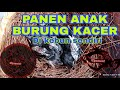 Panen Anak Kan Burung Kacer  Skj Bf  Mp3 - Mp4 Download