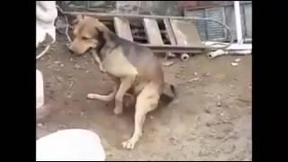 video de risa perro metralleta