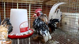 Video Serama breeding cage #1 download MP3, 3GP, MP4, WEBM, AVI, FLV Agustus 2018