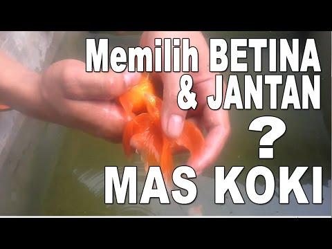 Easy ways Differentiating Male and Female Goldfish Koki