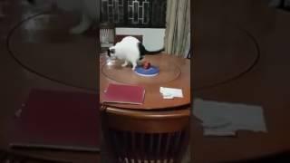 回る回るよ、グルグル回る。回転テーブルで回り続ける猫