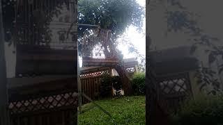 Curió 16 notas Timbira Virado São Luís Maranhão. Padrão Gravata/Feitiço. Uma raridade mundial.