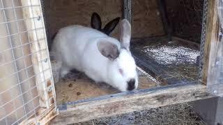 видео Случка Спаривание кроликов.Как развести кроликов