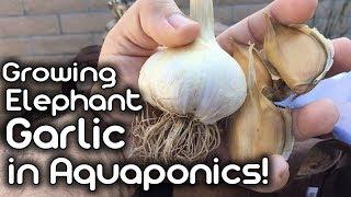 Growing Elephant Garlic in Aquaponics