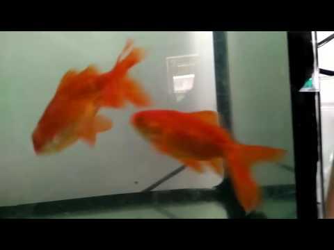 Gold fish Meting
