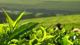 Kericho My Home: Life on Lipton's Kenyan tea estate